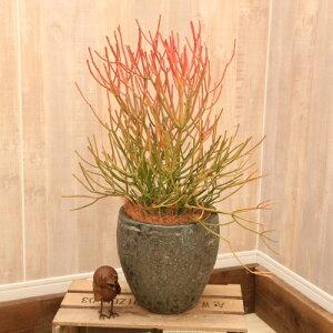 おしゃれ 観葉植物:ユーフォルビア ミルクブッシュ スティックオブファイヤー*陶器鉢 受皿付 ヤシ飾り