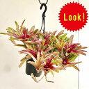 着生植物 観葉植物:ネオレゲリア ファイヤーボール*吊り鉢