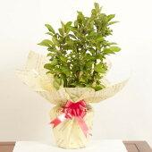 【父の日プレゼント】:姫りんご*(ラッピング付)【送料無料】(姫リンゴ)りんごの木