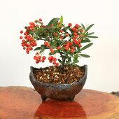 小品盆栽:ピラカンサ(トキワサンザシ)*国産木の葉鉢