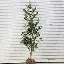 庭木:サザンカ(さざんか)朝倉 *樹高約100cm 全高約1...