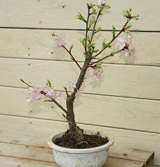 立派な桜の木になります! 苗・庭木苗:桜の苗木(吉野桜・普賢象・陽光桜・御殿場・天の川・松月・…