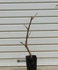 ※今年の花芽はございません庭木:藤(八重黒竜)
