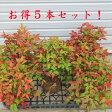 庭木:南天(お多福南天・小)5本セット*【お得!】