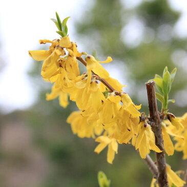 庭木:レンギョウ