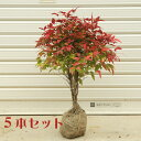 庭木:南天(お多福南天・大)おたふく なんてん5本セット*【お得!】送料無料