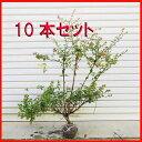 庭木:アベリア(あべりあ)10本セット*【お得!】
