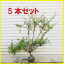 送料無料 庭木:アベリア(あべりあ)5本セット*【お得!】