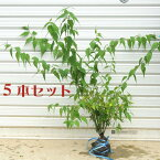 庭木:ヤマブキ(黄色八重)5本セット*【お得!】