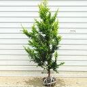 庭木:黄金クジャクヒバ