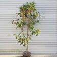 庭木:金木犀(キンモクセイ)(根巻き) 樹高:約120cm ヤマト便大型商品発送!
