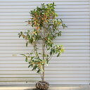 庭木:金木犀(キンモクセイ)(根巻き) 樹高:約100cm-120cm