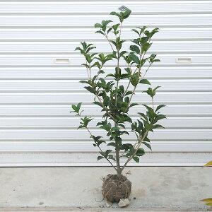 庭木:ヒイラギモクセイ
