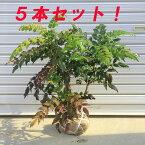 庭木:柊南天(ヒイラギナンテン) 5本セット!
