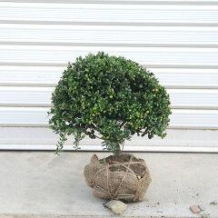 庭木:マメツゲ(玉作り) ☆当店人気トップクラスの商品です!
