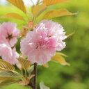 庭木:桜・楊貴妃桜