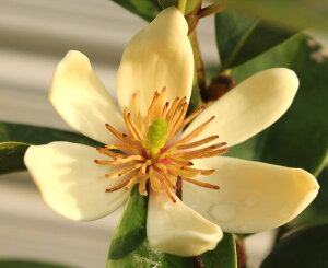 庭木:カラタネオガタマ(白)