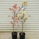 苗、庭木:アメリカ花水木(はなみずき)ハナミズキ* 鉢でも育てやすいサイズです!  品種をお選びください。