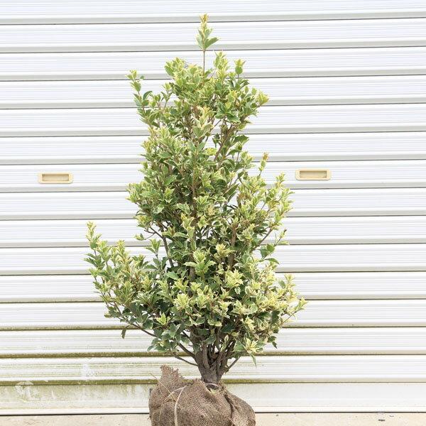 送料無料 庭木:斑入ヒイラギ(ひいらぎ)シマヒイラギ