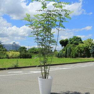 シマトネリコ(株立ち) 硬質プラ鉢植え 鉢色選べます(白or黒)