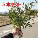 庭木:ヒメクチナシ/コクチナシ 姫梔子* お得な5本セット! 送料無料
