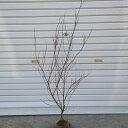 庭木:ピンクユキヤナギ(フジノピンキー) 大株! 樹高:約70cm