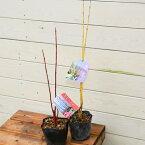 美しい枝を楽しむ庭木:シラタマミズキ*(サンゴミズキor黄金ミズキ)
