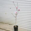 庭木:桃花姫コブシ(ひめこぶし)