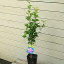 夏の空に映える豪華な花庭木苗:ムクゲ 品種お選びください!B群 ちょうど良い大きさ!