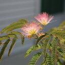 夏に元気に咲く花!苗:ネムの木(ピンク)