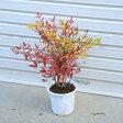 特別セット庭木:紅白南天(小)+季節の花木!(桜など)