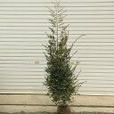 庭木:白花トキワマンサク(常磐万作)ときわまんさく  樹高:約120cm 全高:約140cm
