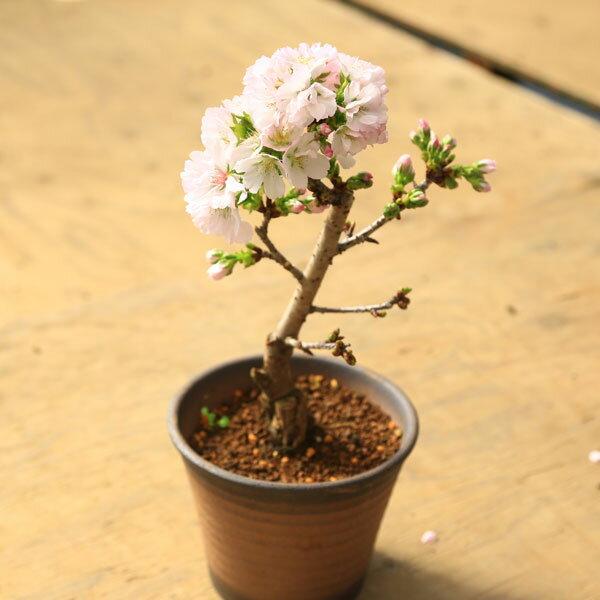 桜盆栽:八重桜(イブシ反鉢 萬古焼)