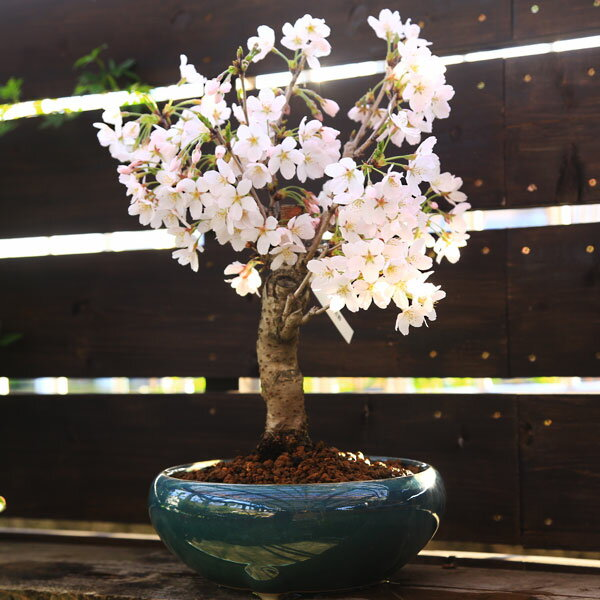 桜盆栽:特選吉野桜(大)