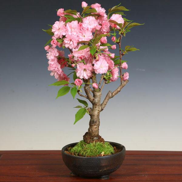 桜盆栽:八重桜(信楽焼金彩足付丸鉢)