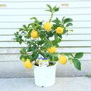 庭木・植木・苗木:レモン(れもん)檸檬 苗木 特良品!