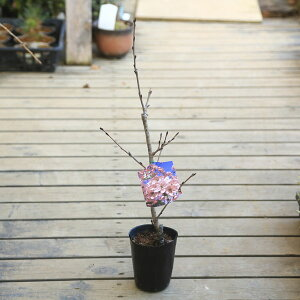 立派な桜の木になります! 桜...