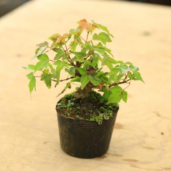 苗・盆栽苗:小葉性楓(かえで)