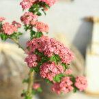 庭木:紅花八重サンザシ(さんざし)八重紅花サンザシ