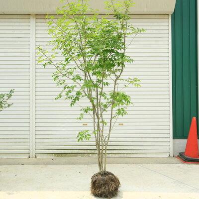 庭木:アオダモ