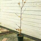 庭木:満月ロウバイ ポット苗 樹高:90cm