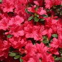 庭木:久留米つつじ/クルメツツジ イマショウジョウ(今猩々)*明るい紅色花です!
