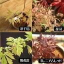 小品盆栽:世界のもみじ盆栽(紅葉)(モミジ)お気に入りの品種...