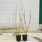 美しい枝を楽しむ庭木:シラタマミズキ*(サンゴミズキor黄金ミズキ) 大苗