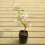 庭木苗・植木:コルクウィッチア アマビリス ピンククラウド