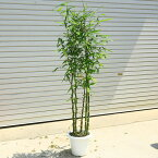 庭木・植木:らっきょう竹(ラッキョウヤダケ)*ポット 釣り竿で有名な竹!