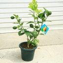 庭木・果樹:サイパンレモン 良品!*鉢植え庭植えにもぴったり...