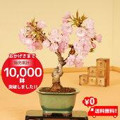 桜盆栽:一才桜