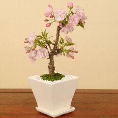 モダン盆栽:一才桜(旭山桜・受け皿付)*【送料無料】【桜盆栽】【さくら盆栽】