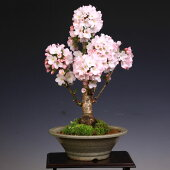 桜盆栽:御殿場桜(瀬戸焼白鉢)